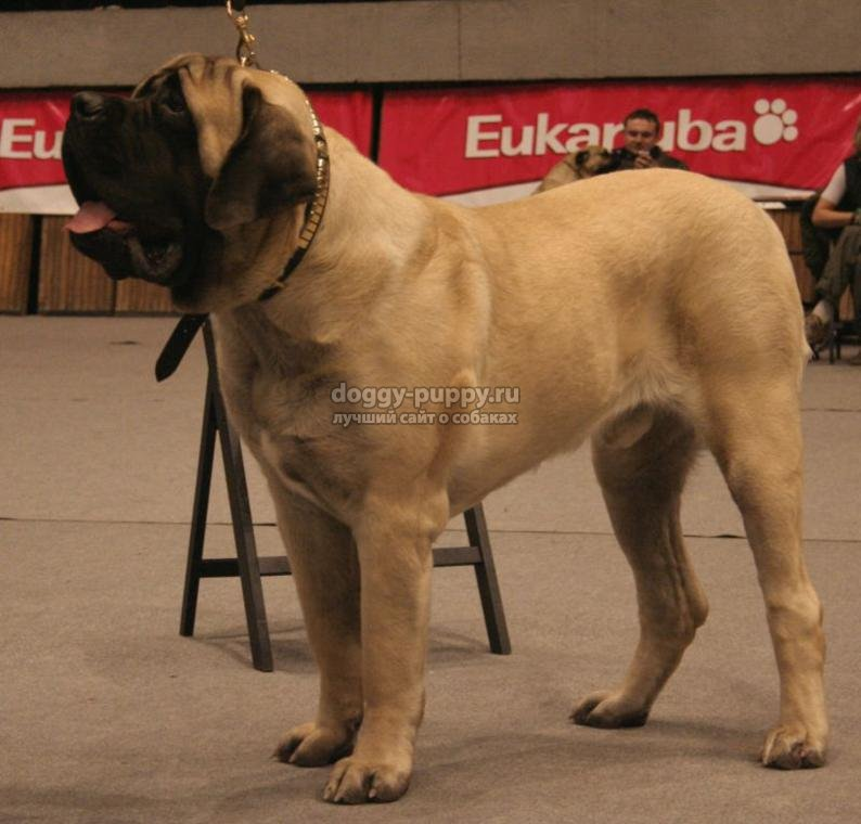 самая большая собака в мире: мастифф