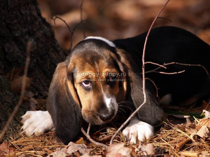 собака после укуса клеща: симптомы и лечение