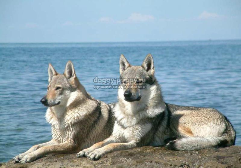 собаки похожие на волков: как называется порода и ее особенности