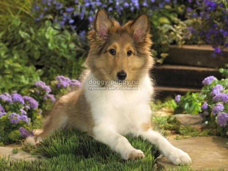 ложная беременность у собак: лечение и симптомы