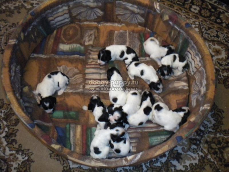 щенки русского спаниеля: кормление, описание, фото и цена