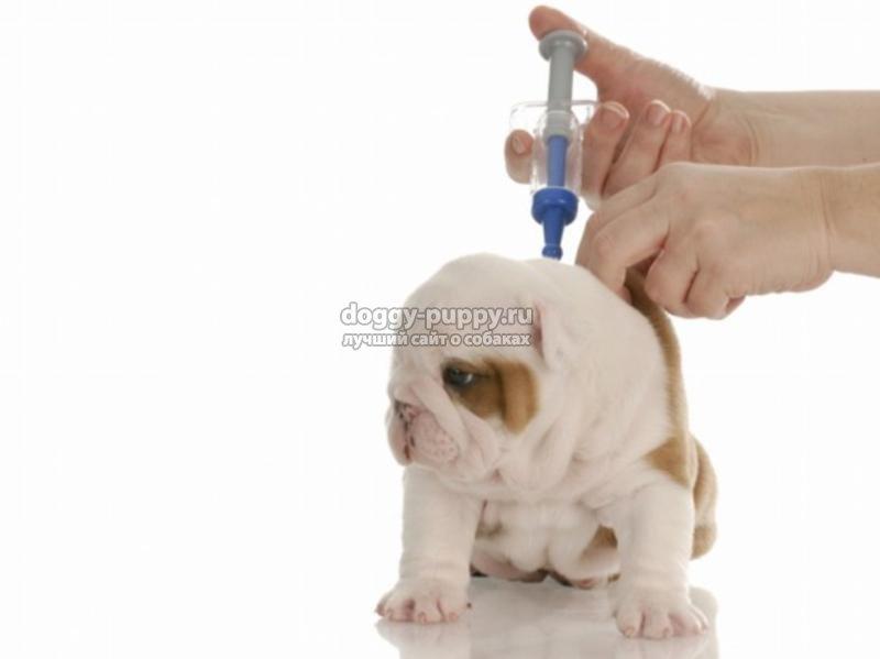 щенок после прививки: что делать и как правильно