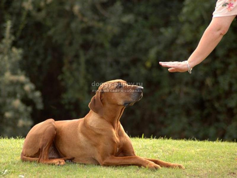 как научить собаку командам: самые эффективные советы