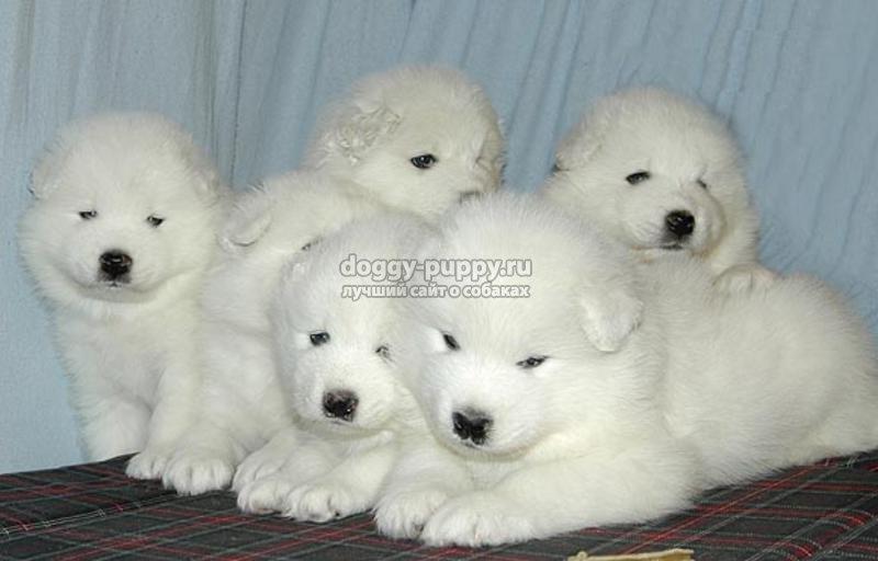собака самоед: описание, цены, фото и видео