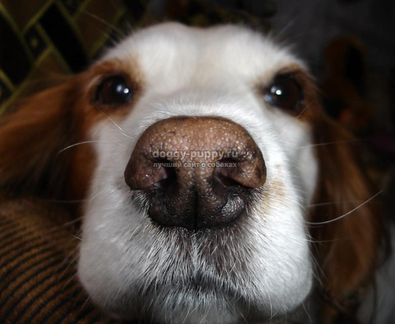 у собаки сухой нос: причины и что делать