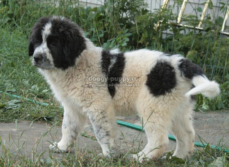 болгарская овчарка: описание, цена и фото