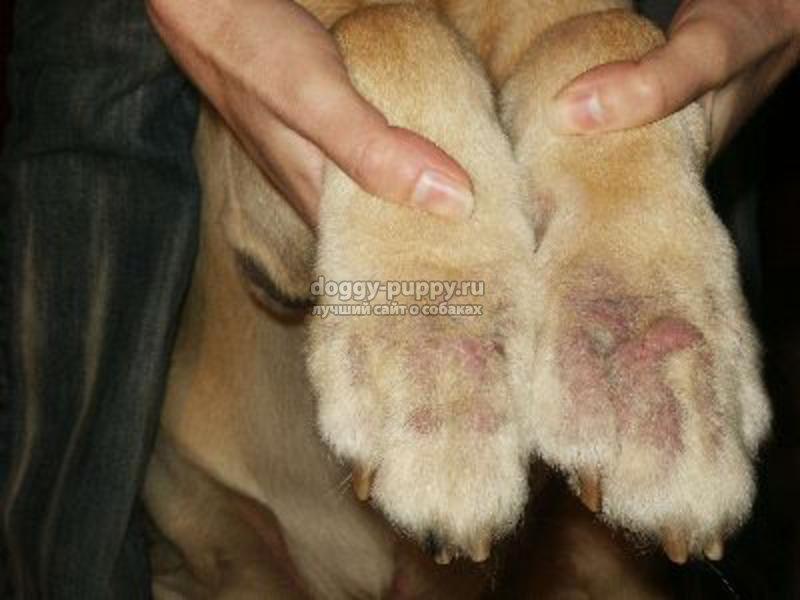 грибок у собак: виды, симптомы и лечение