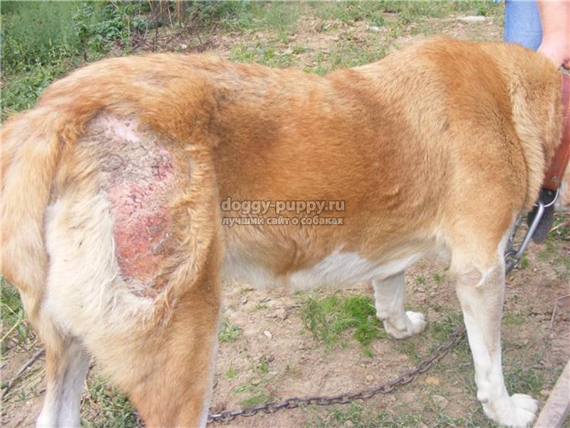 лишай у собак виды, симптомы и лечение