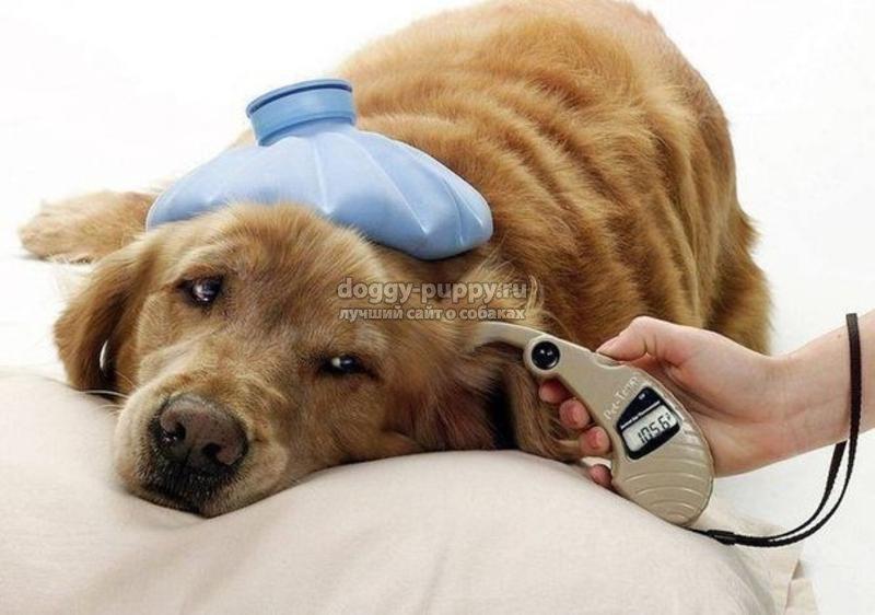 тепловой удар у собаки: симптомы, первая помощь и последствия