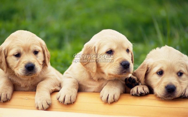 щенки лабрадора: описание, цена и фото