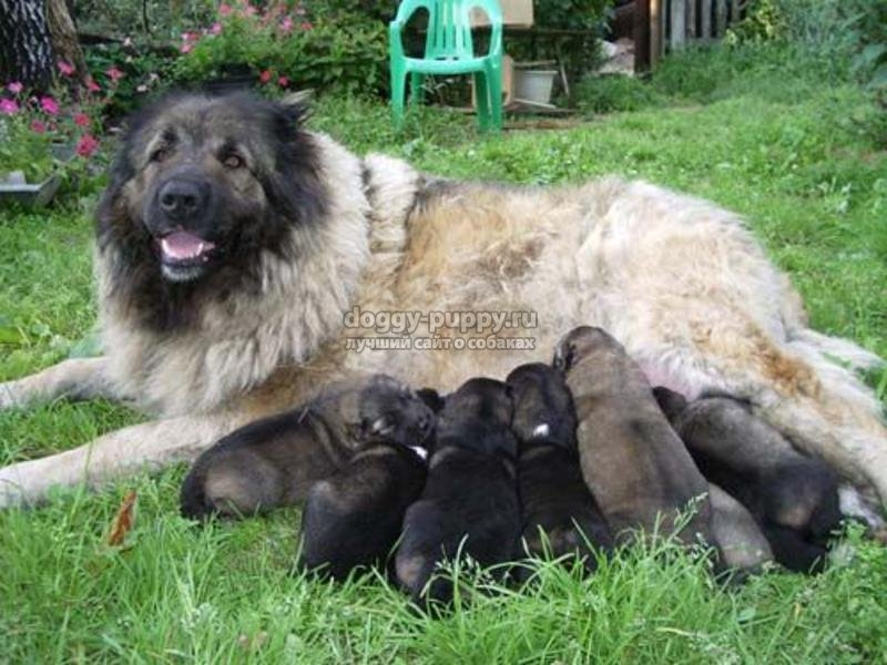 щенки кавказской овчарки: описание, фото и цена