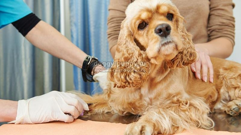 пироплазмоз у собак: симптомы, лечение и фото