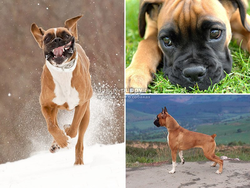 фото боксера собак