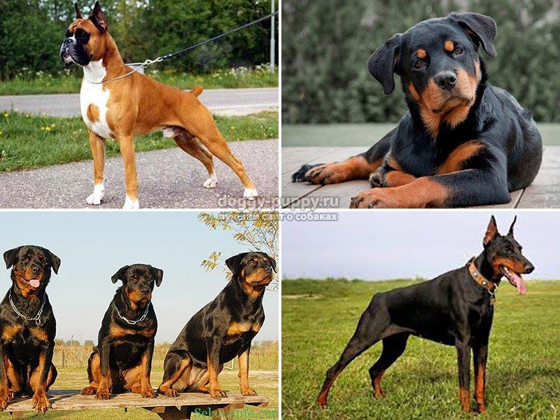 Лучшие собаки для охраны