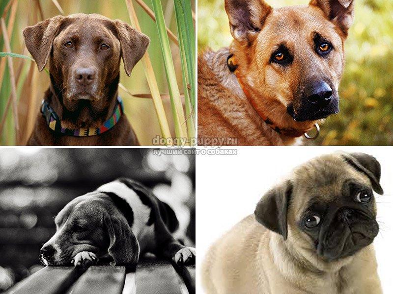 блохи у домашней собаки
