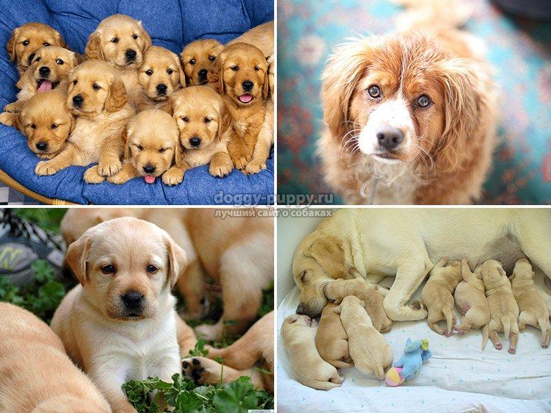 сколько носит собака щенят