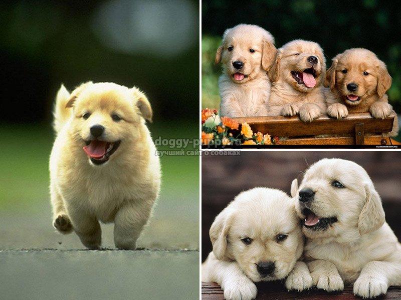 Собаки вынашивают щенков