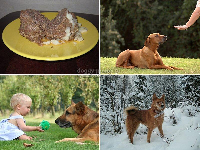 Почему собакам нельзя свинину