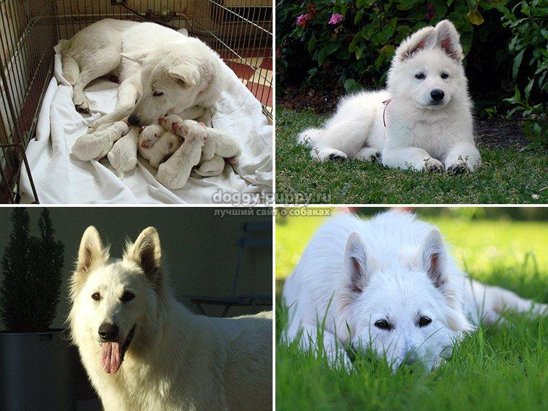 Порода собак, выведенная в Швейцарии