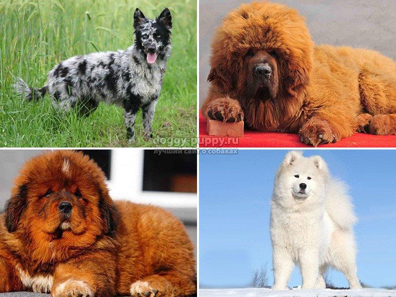 Редкие породы собак с фотографиями и названиями