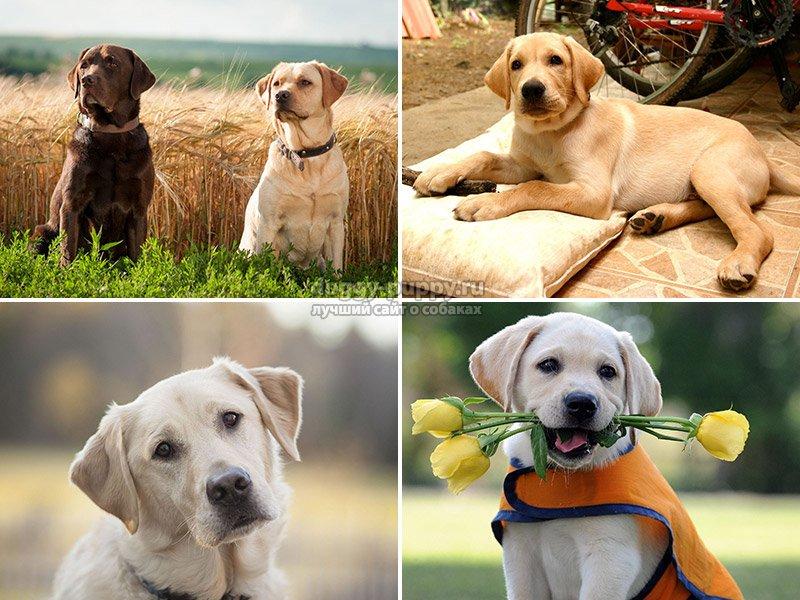 Собака породы лабрадор