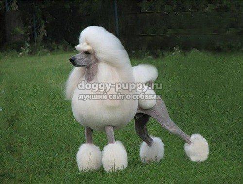 Пудель: собака