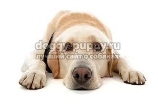 Как происходит кастрация собак