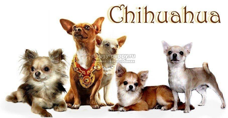чихуахуа