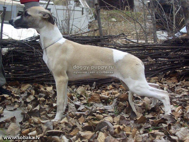 Собака породы уиппет