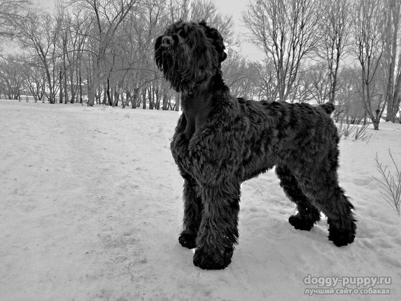 русский черный терьер фото