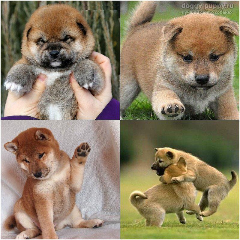 Порода собак: сиба. Цена, фото и описание породы