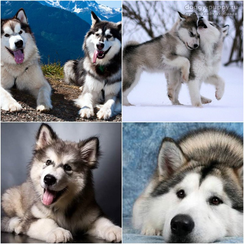Порода собак маламут: фото и описание