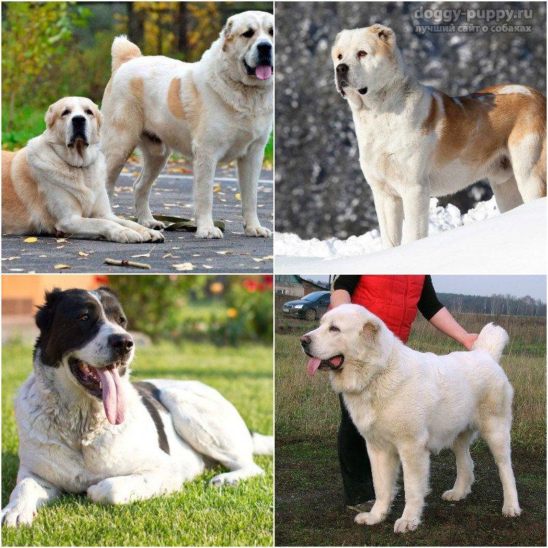 Бойцовские собаки породы: фото и названия
