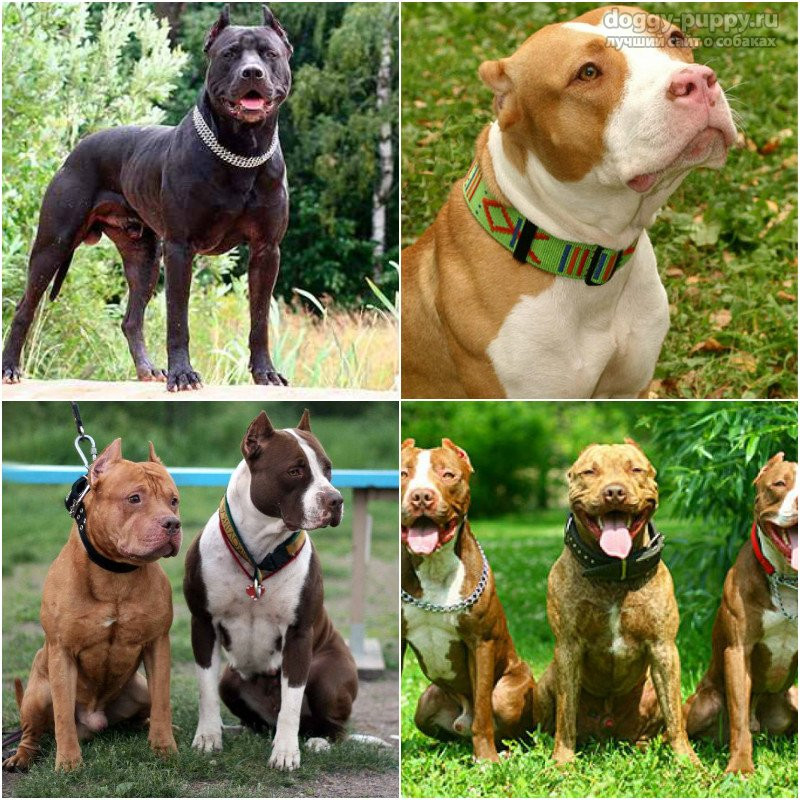 бойцовские собаки породы названия
