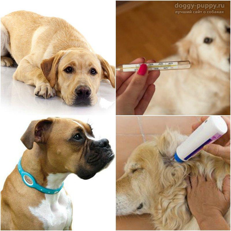 Как вытащить клеща у собаки: методы. Пошаговая инструкция с фото
