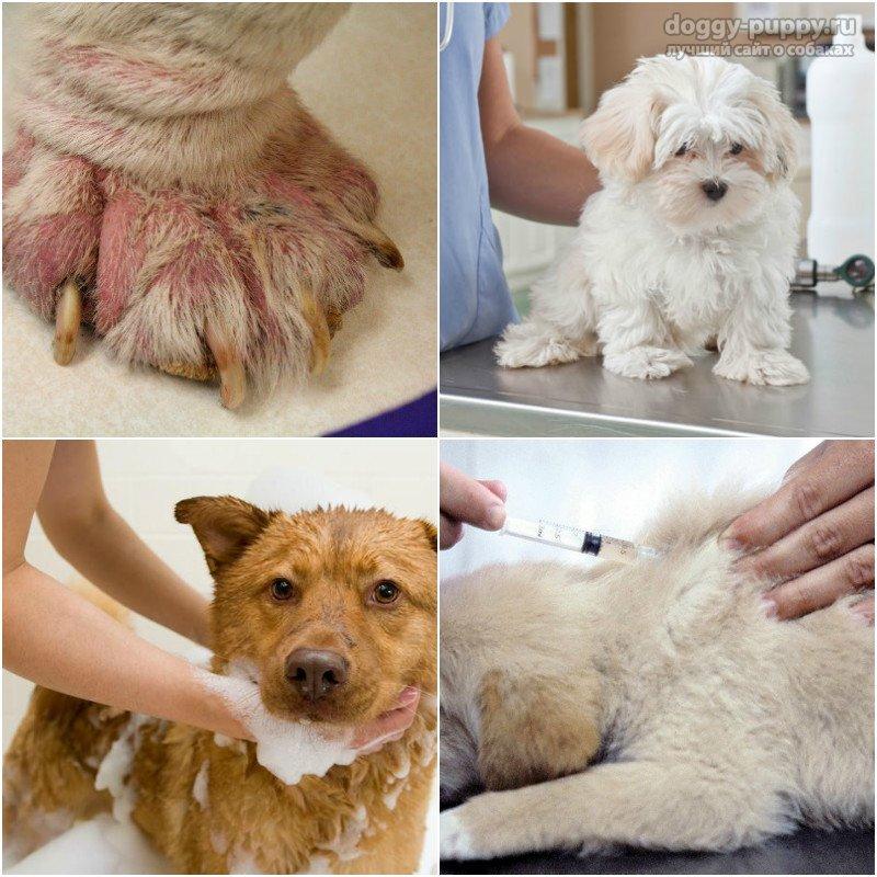 Подкожный клещ у собак: симптомы и лечение