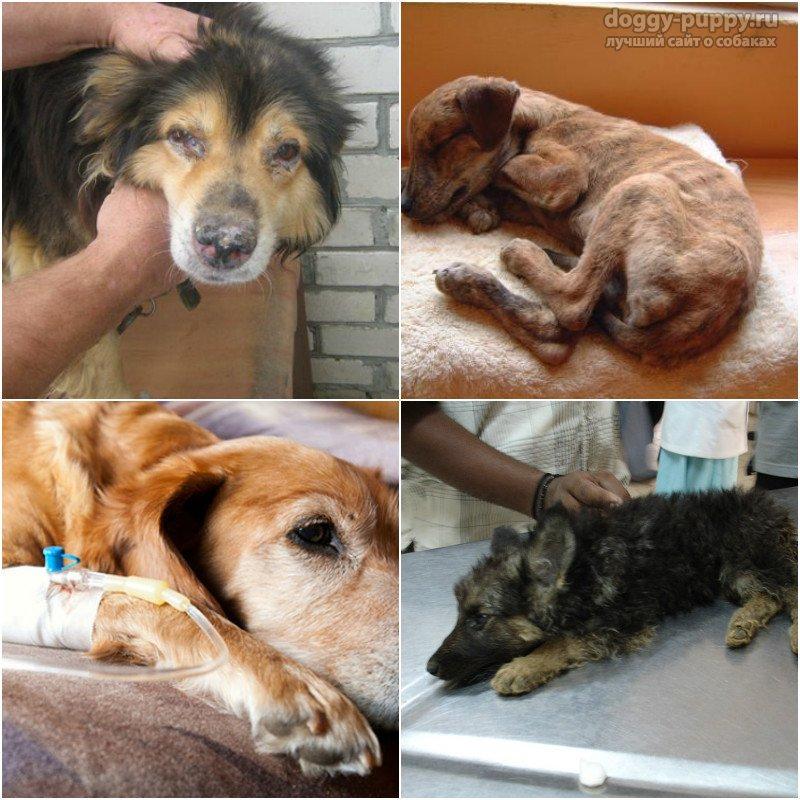 чумка у собак симптомы заразна