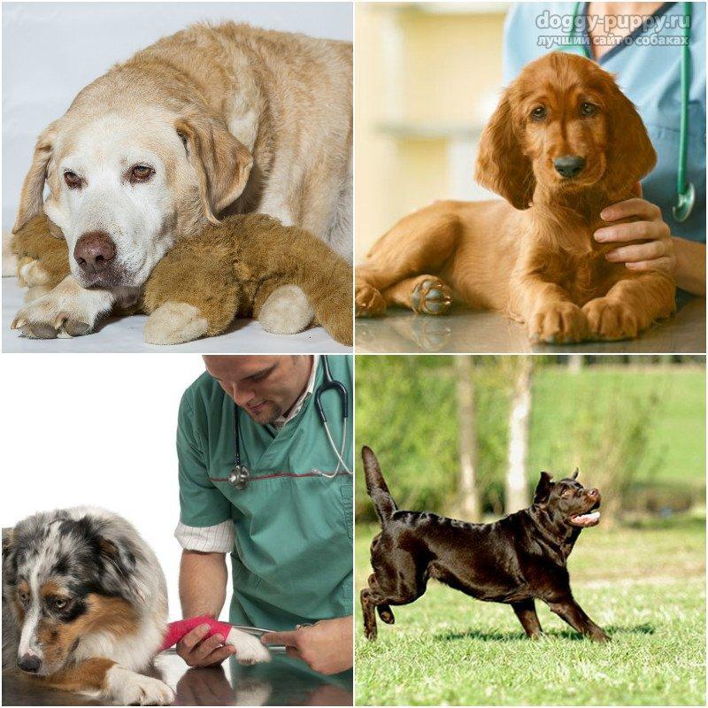 Лечение болей в суставах у собак суставы и сустанон