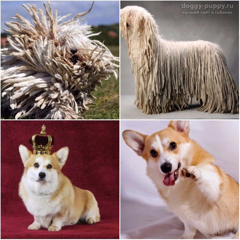 Самые глупые породы собак топ 10. Самые глупые породы собак в мире