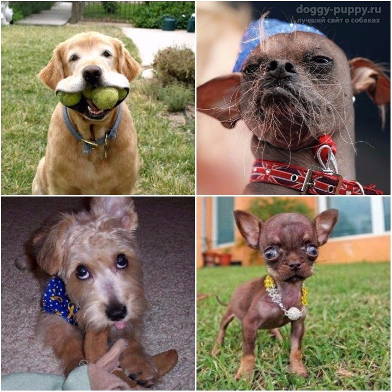 Самые смешные собаки: ТОП-10 пород в мире, которые вызывают улыбку