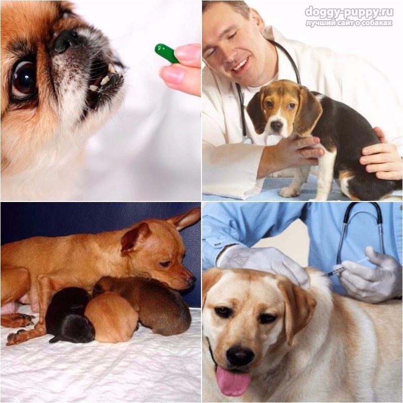 Собака после родов: осложнения и что делать?
