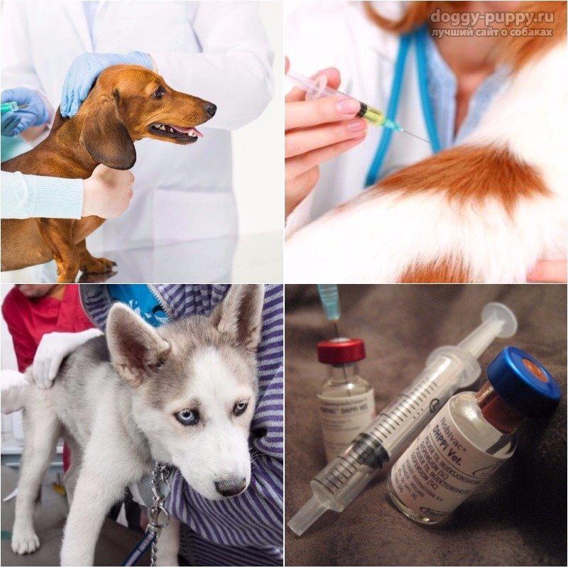 Какие прививки делают щенкам? Схемы и правила вакцинации