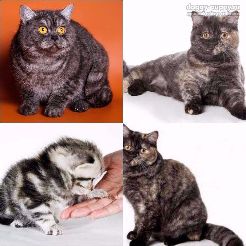 Британская порода кошек: описание породы, характер и фото