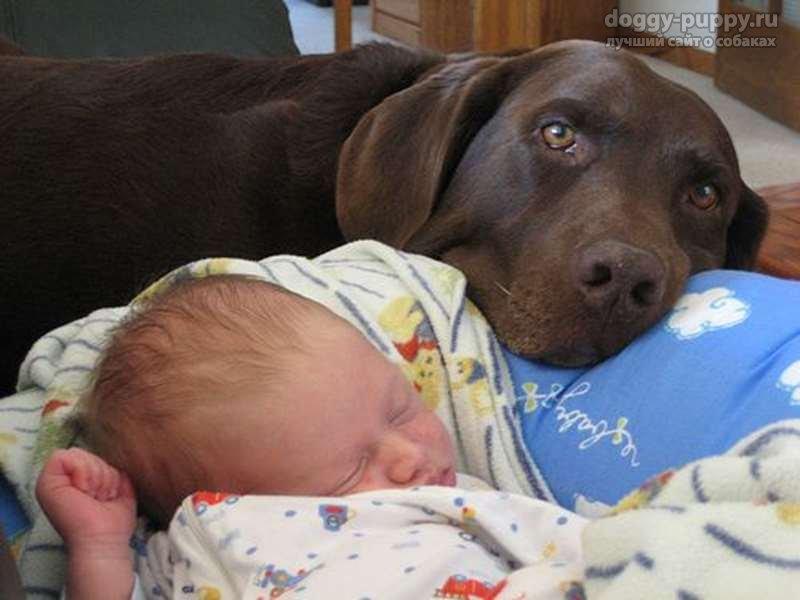 фото лабрадора щенка