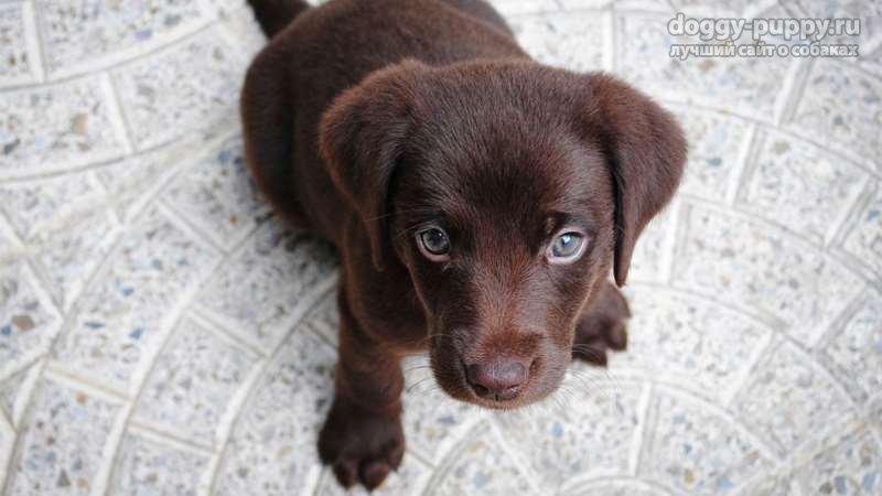 коричневый лабрадор фото