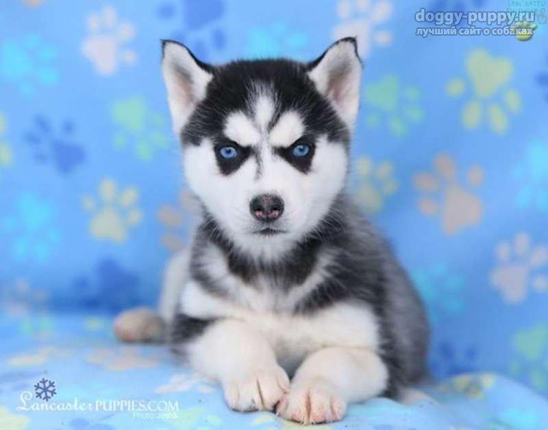 фото хаски собаки щенки