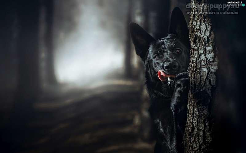 Немецкая овчарка черная фото