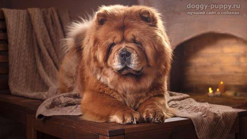 чау чау фото собак