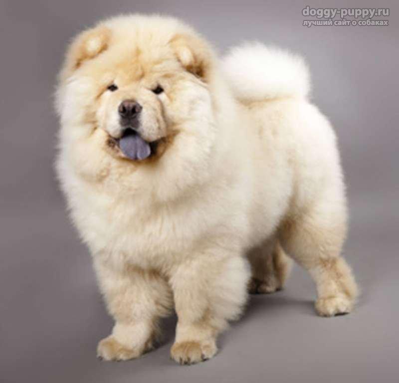 порода чау чау фото собак