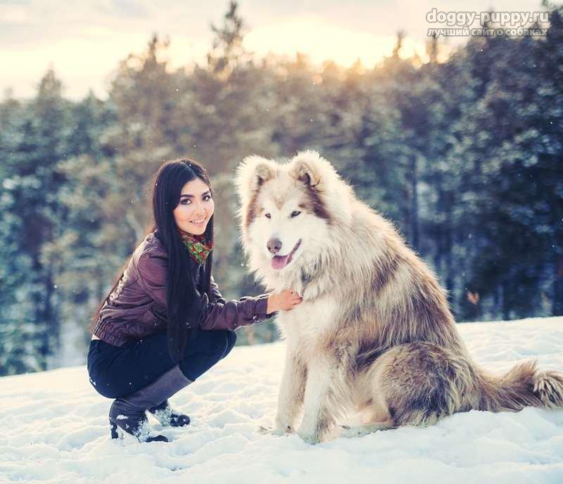 аляскинский маламут фото